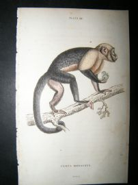Jardine C1835 Antique Hand Col Print. Large Headed Sapajou Monkey